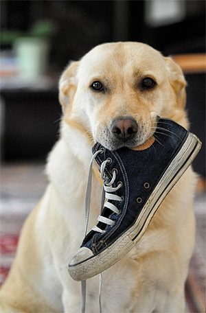 dog chews on shoe